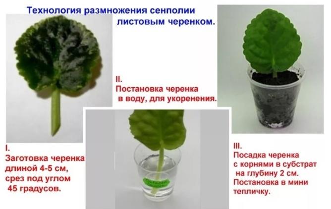 Размножение сенполии листом