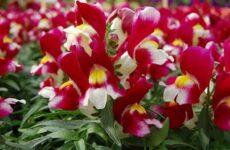 Полезные рекомендации опытного цветовода по выращиванию цветка антирринума