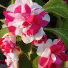 Цветок недотрога или бальзамин
