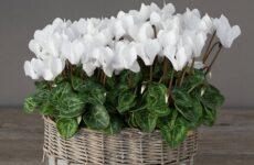 Как избавиться от проблем по уходу за комнатным цветком цикламен