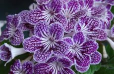 За что цветоводы ценят комнатный цветок стрептокарпус