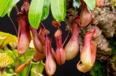 Непентес – растение хищник