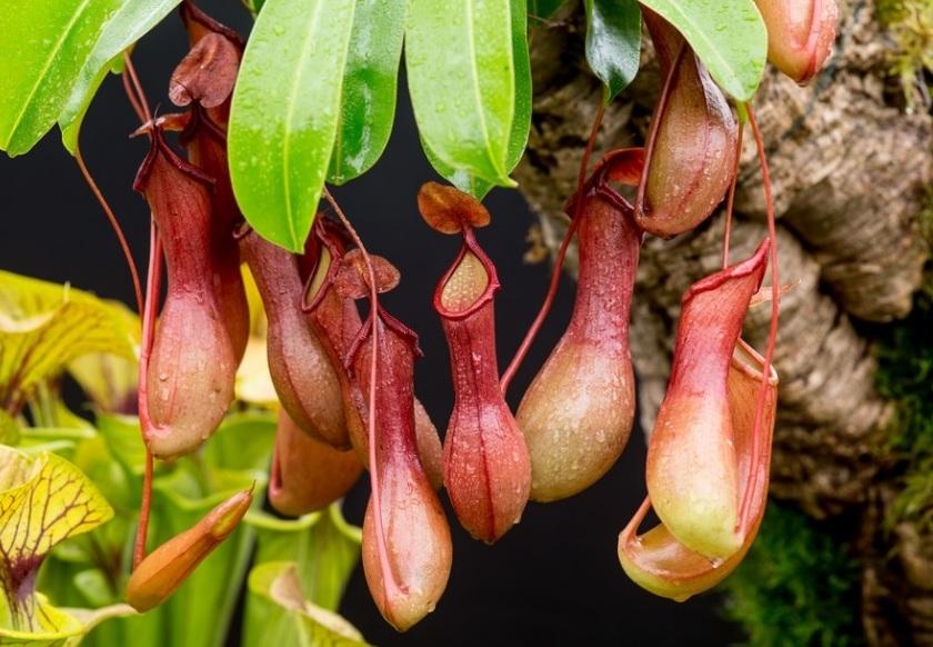 Непентес растение хищник