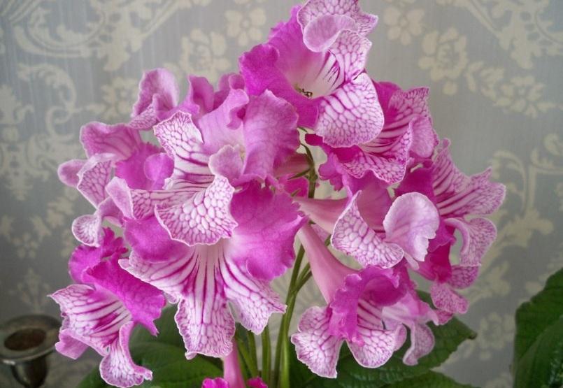 Оригинальная расцветка стрептокарпуса