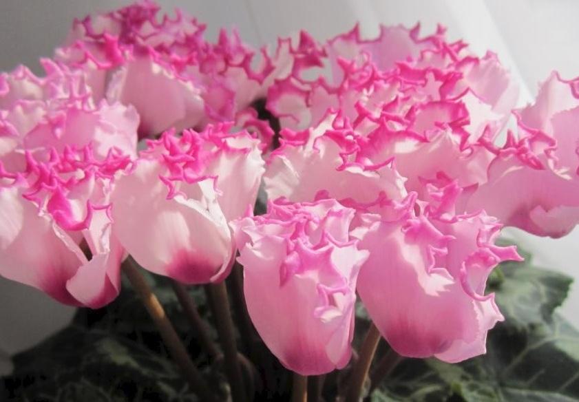 Праздничный цветок цикламен