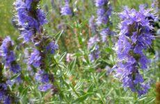 Чего вы не знали раньше о растении иссоп