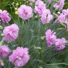 Всем хорошо знакомый цветок – гвоздика