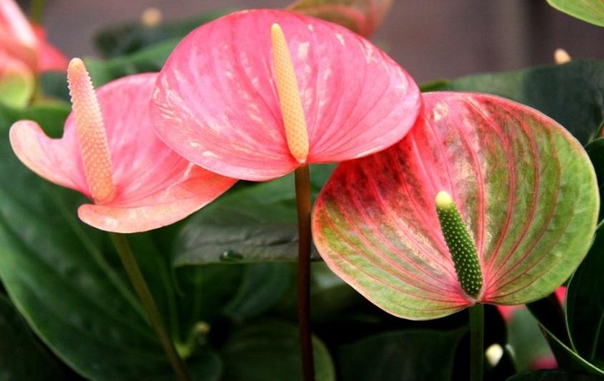 Уход в домашних условиях за цветком антуриум