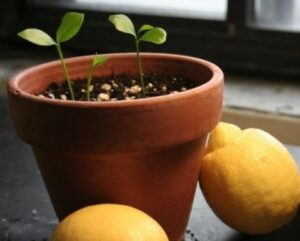 Всходы лимона