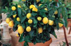 Вы все еще покупаете лимоны в магазине?