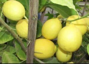 Завидный урожай комнатного лимона