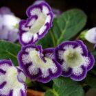 Чем привлекает цветоводов комнатный цветок глоксиния