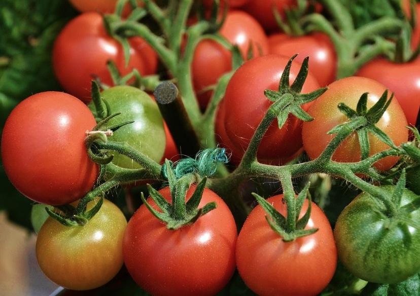 Урожайная кисть томата