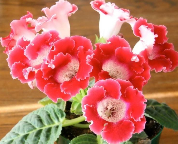 Розовые сорта глоксинии