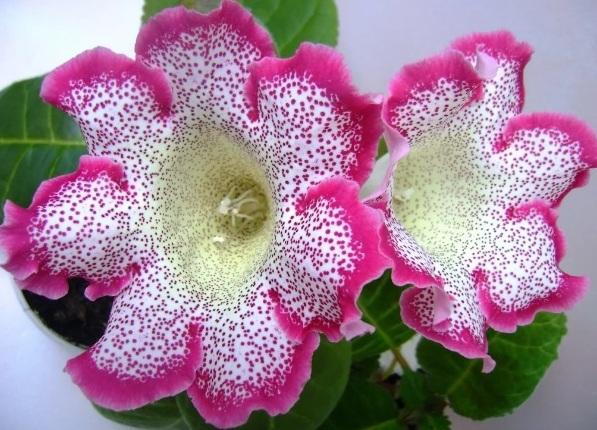 Цветок глоксинии с розовой обводкой