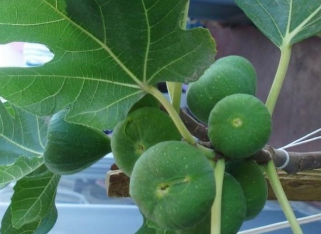 Сбор плодов инжира