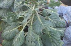 Что нужно знать о технологии выращивания брюссельской капусты