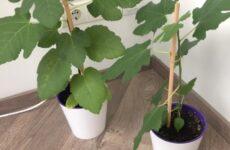 Выращивание инжира в квартире давно уже не фантастика