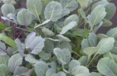 Какие особенности нужно учитывать при выращивании рассады брюссельской капусты