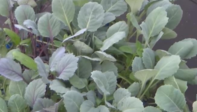 Выращивание рассады брюссельской капусты в домашних условиях