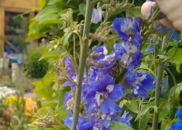 Поражение цветов мучнистой росой