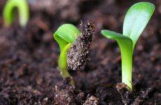 Какие условия необходимы для прорастания семян огурца