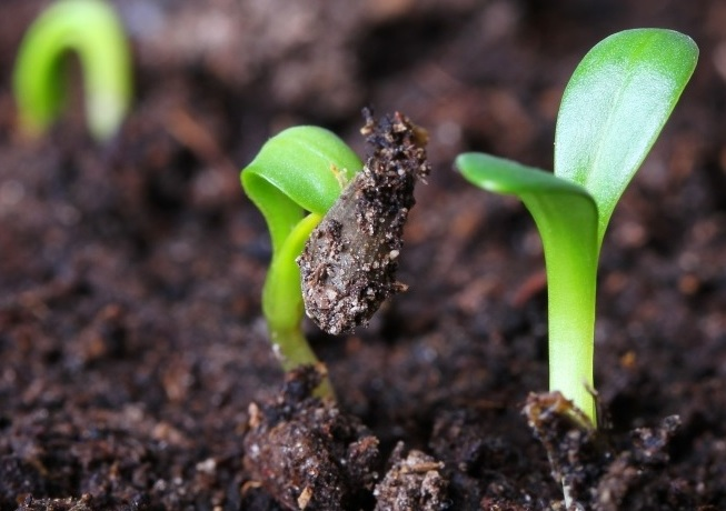 Прорастание семян огурца