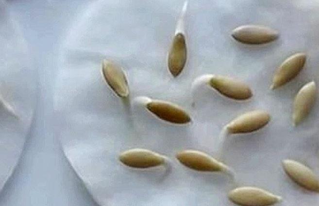 Проверка семян на всхожесть