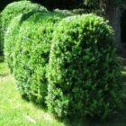 Где зарыт секрет успешного выращивания самшита вечнозеленого