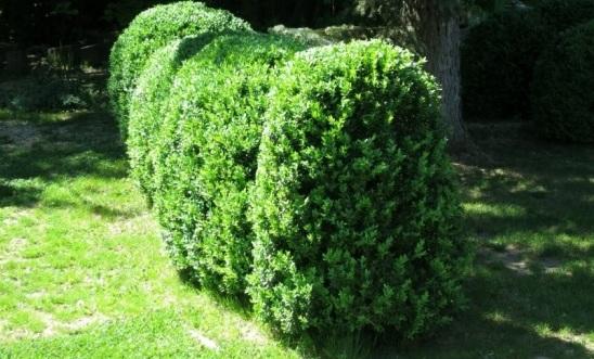 Самшит вечнозеленый: описание, уход