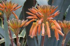 Эти знания помогут вам вырастить дома экзотическую агаву