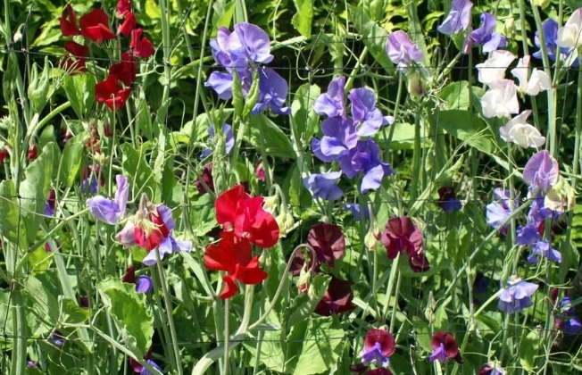 Цветы душистый горошек: выращивание