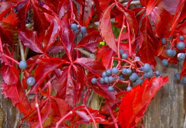Описание растения девичий виноград