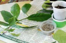 Простая методика выращивания лимона из черенка