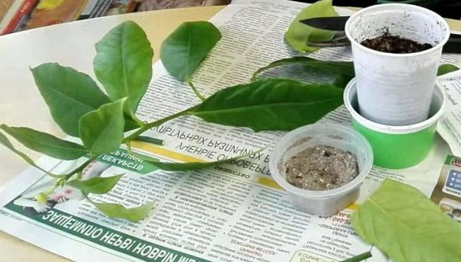 Размножение домашнего лимона черенками