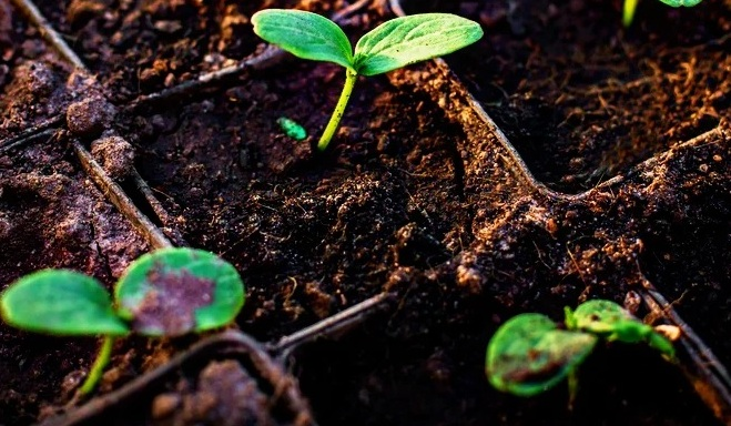 Сроки посева семян огурцов на рассаду