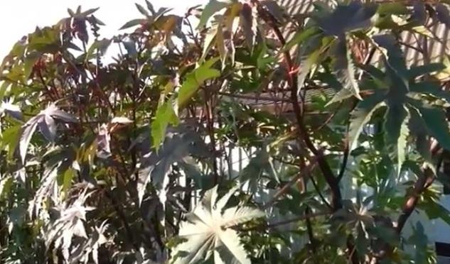 Выращивание клещевины из семян