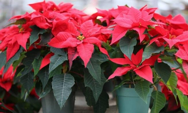 Комнатное растение Рождественская звезда