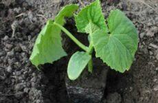 Почему важно посадить рассаду огурцов в теплице правильно