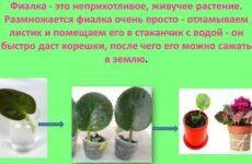 Не игнорируйте эти особенности размножения сенполий листом