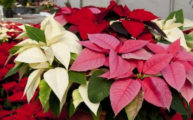 Разнообразие окрасок Рождественской звезды